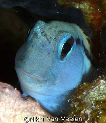 Blenny portrait taken at Shark observatory, Ras Mohamed p... by Nikki Van Veelen 
